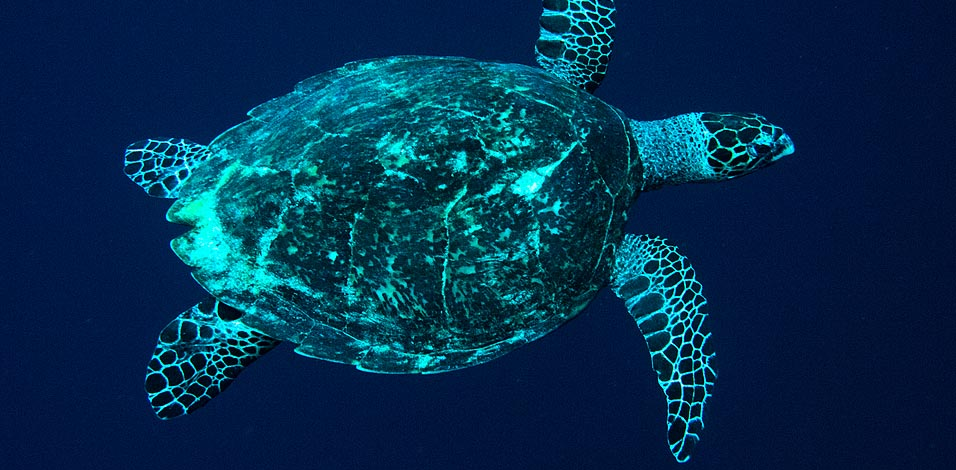Scuba Diving with Rare & Endangered Sea Turtles in Tubbataha
